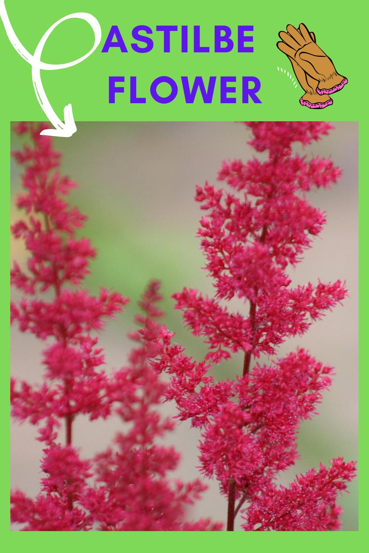 Astilbe Flower False Goat S Beard In 2020 Astilbe Flower Astilbe Flowers