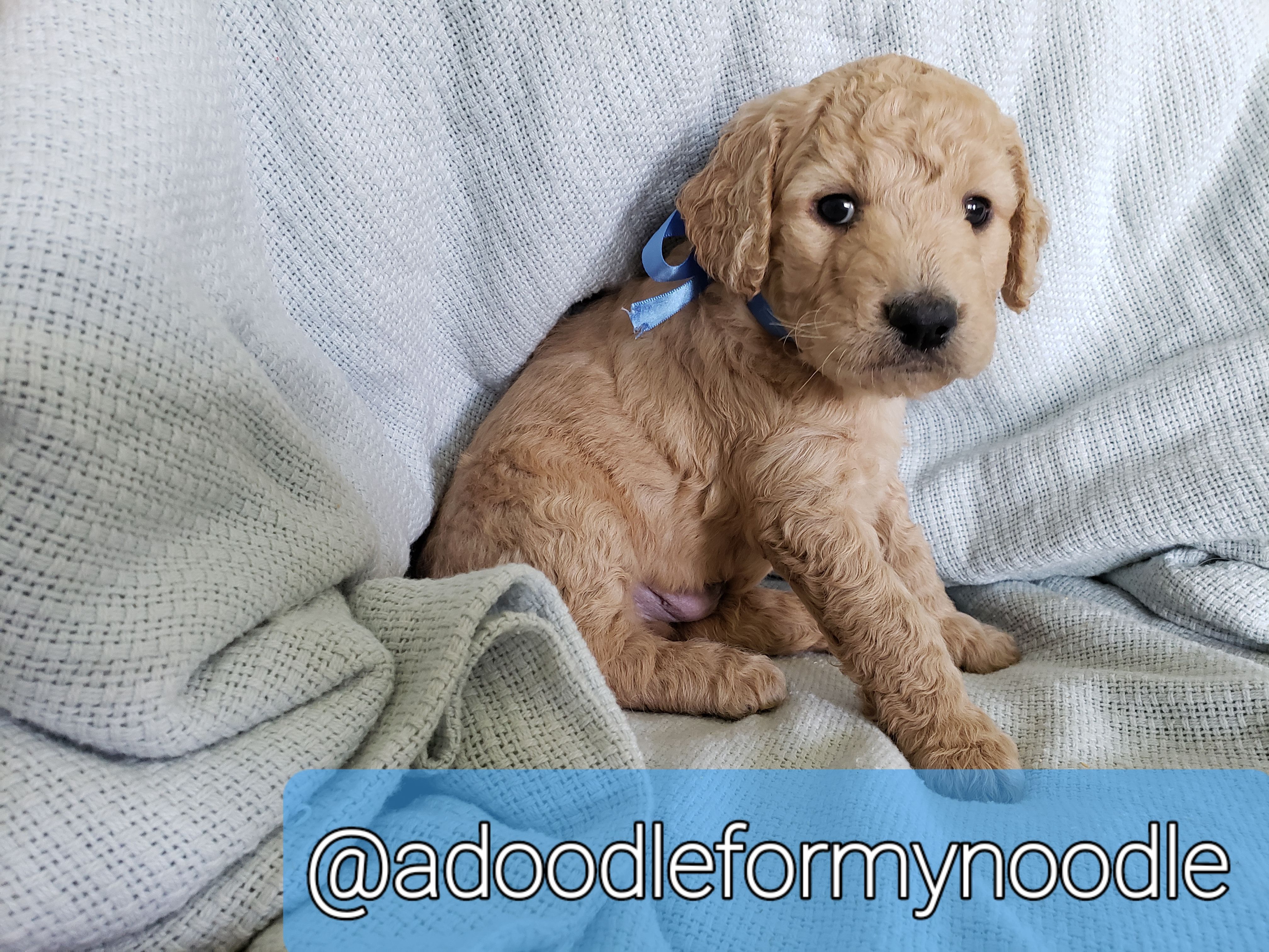 Lime Green Collar F1b Goldendoodle Doggie For Sale Near Columbia Tennessee In 2020 Goldendoodle F1b Goldendoodle Goldendoodle Puppy For Sale