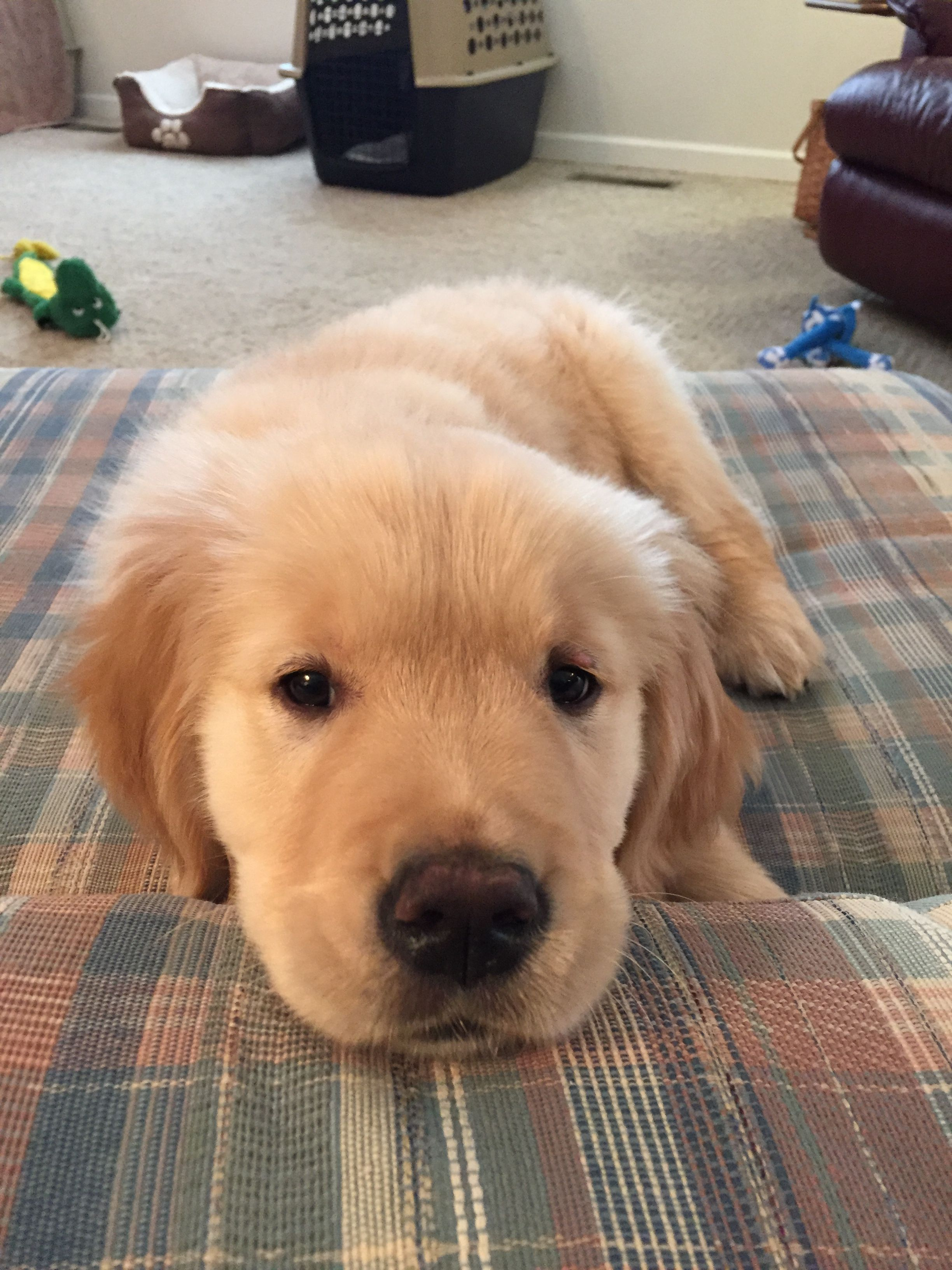 I love to stare at my mom#goldenpuppies#goldens#goldenretrievers ...