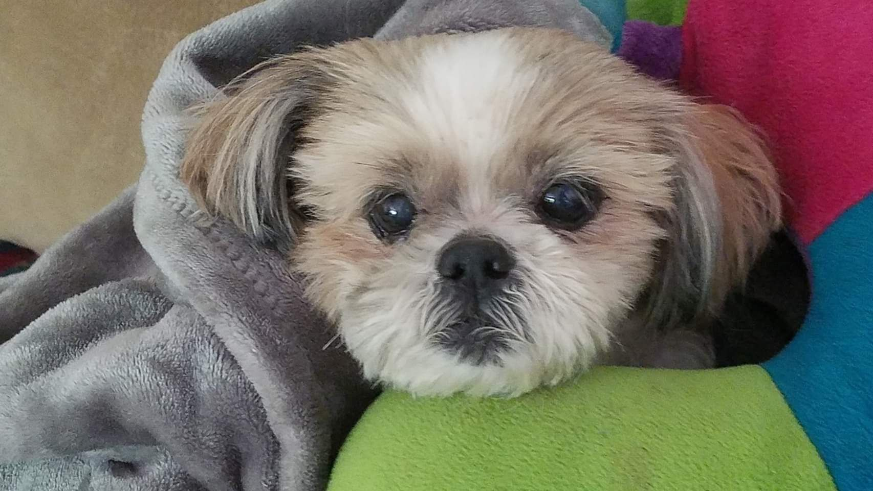 Adopt Loki Peanut Turner On Petfinder Help Homeless Pets Pet Ownership Shih Tzu Dog