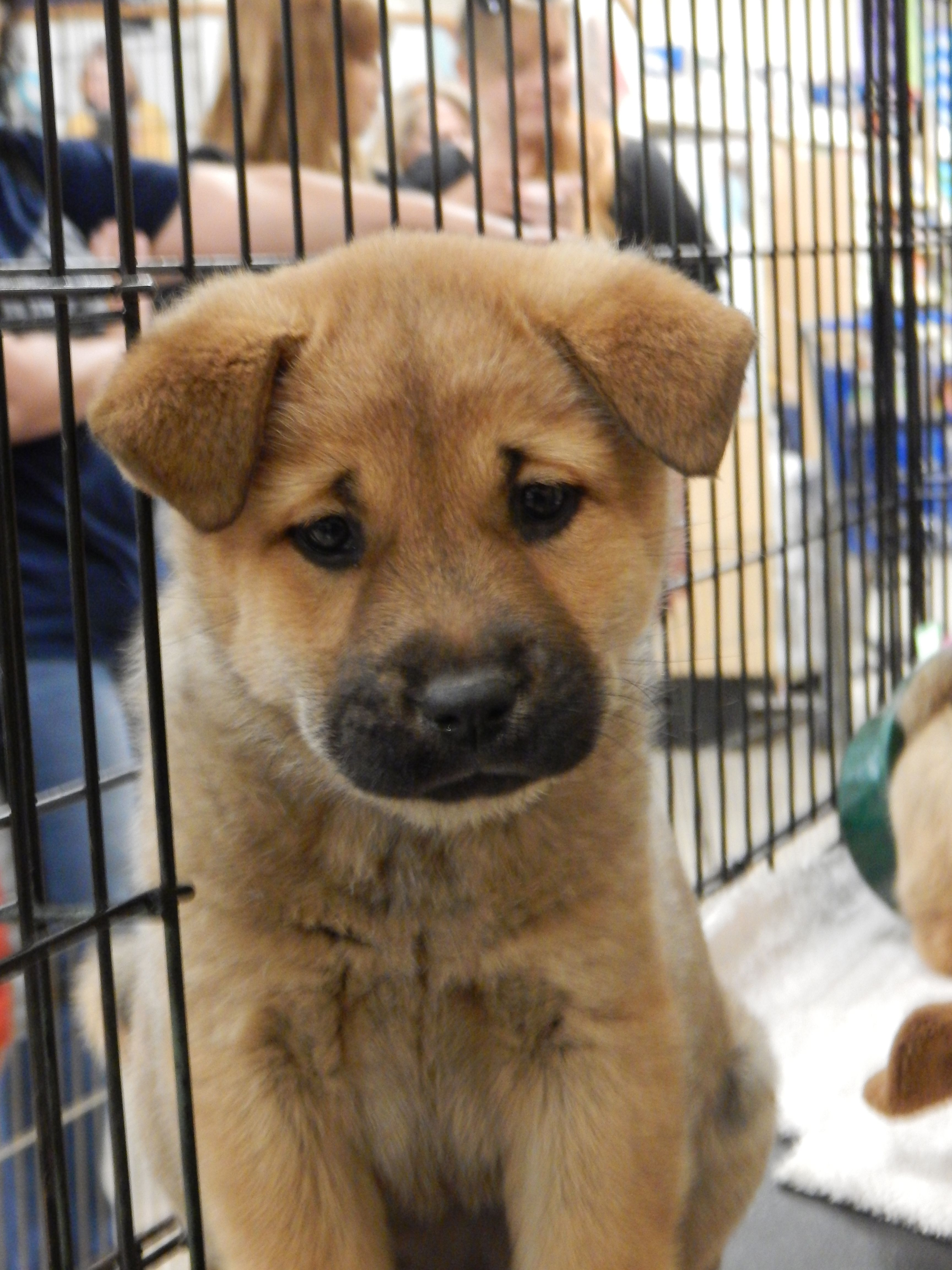 Ellie Is A Chow Labrador Mix Puppy Born On March 1 She Has