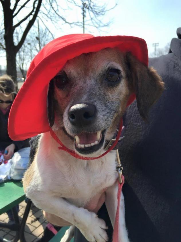 Adopt Daisy Doodles On Beagle Dog Terrier Mix Dogs Adoptable Beagle
