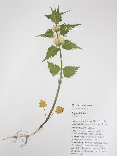 Kräuterfee Herbarium Vorlage Weiße Taubnessel White Dead Ne