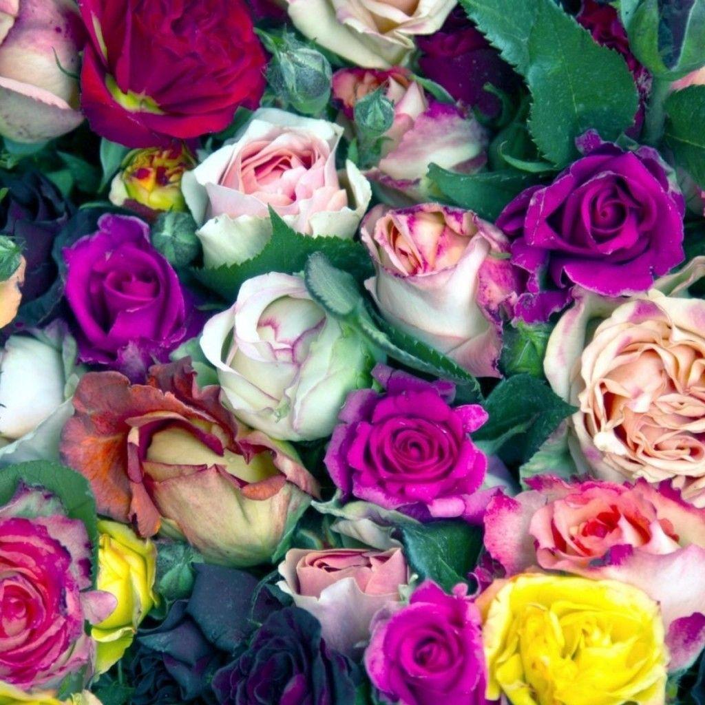 Bunga Mawar Warna Warni Tunas Banyak Ipad Wallpaper Background Mini 1024x1024 Wallpaper Gratis Gambar Foto Latar Belakang Rose Colorful Flowers Flowers