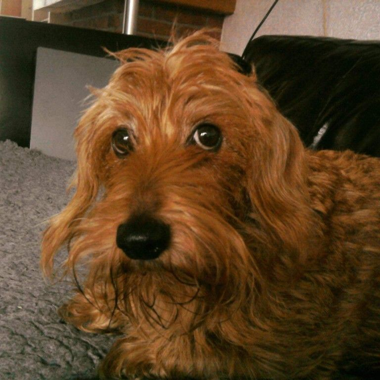 Pin By Melisa Grimes On Les Chiens Wire Haired Dachshund Weiner