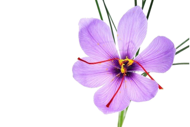 Saffron Flower Drawing
