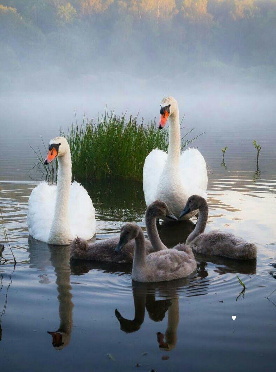 нас картинки лебедей и фото с лебедями носить зимой, что