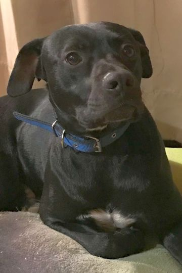 Newbie SCAS is an adoptable black labrador retriever