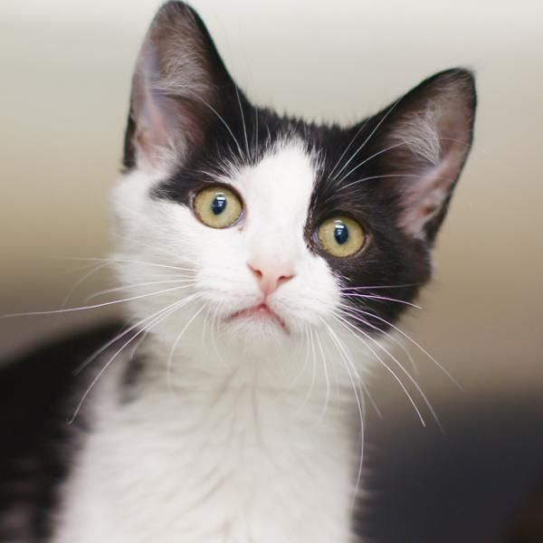 Adopt Whitney On Short Hair Styles Short Hair Cats East Hartford