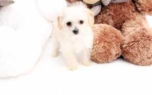Amadeus Toy Peek A Pom Puppy Available Teacup Puppies For