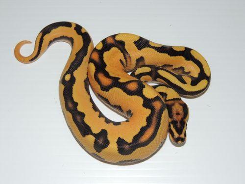Super Orange Dream Fire Yellow Belly Ball Python Snakes