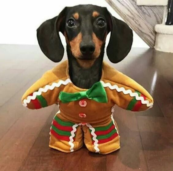 Gives A Whole New Meaning To Bite Me Dachshund Puppy Funny