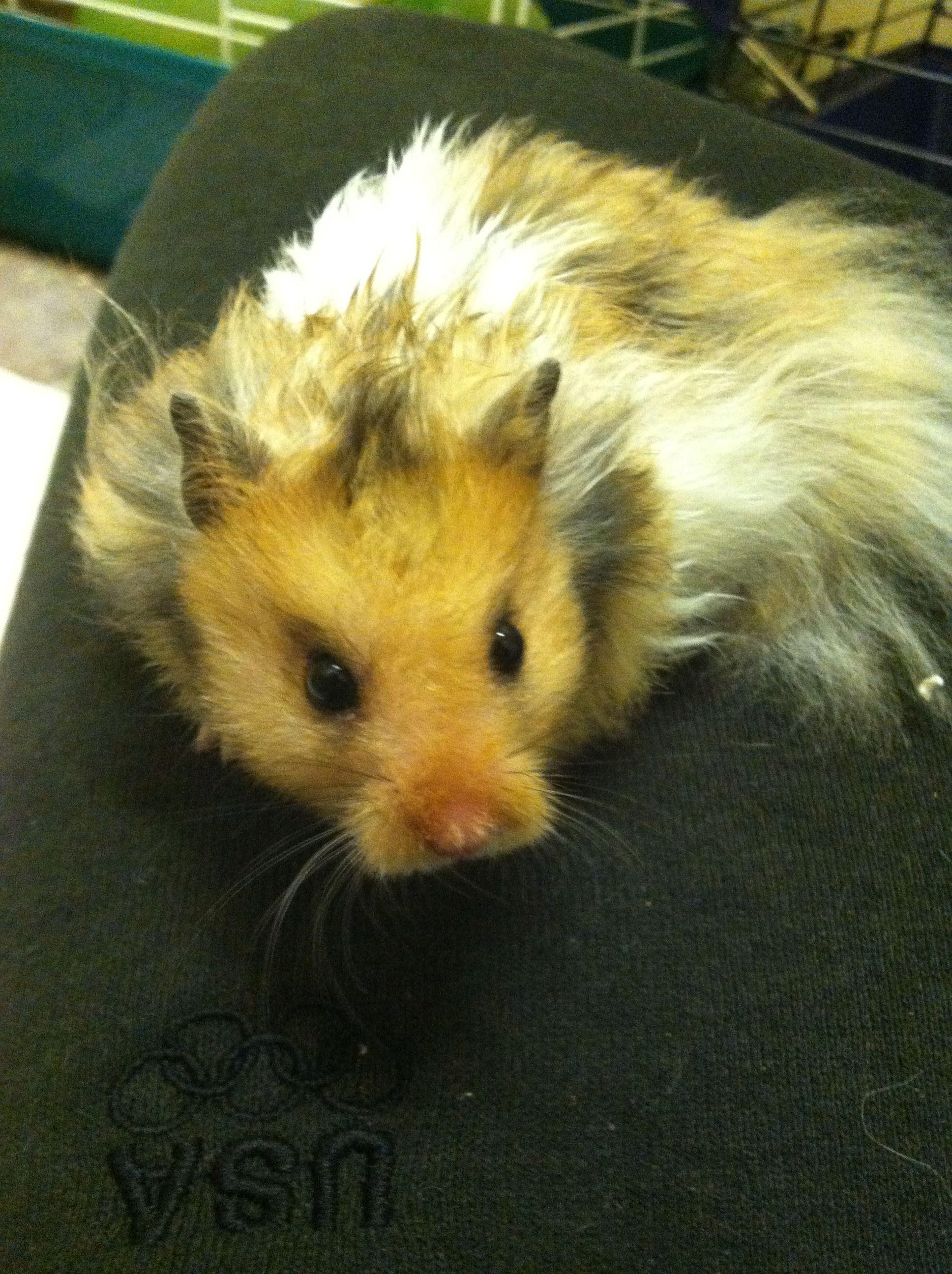 Long Haired Syrian Hamster Cute Hamsters Syrian Hamster Hamster