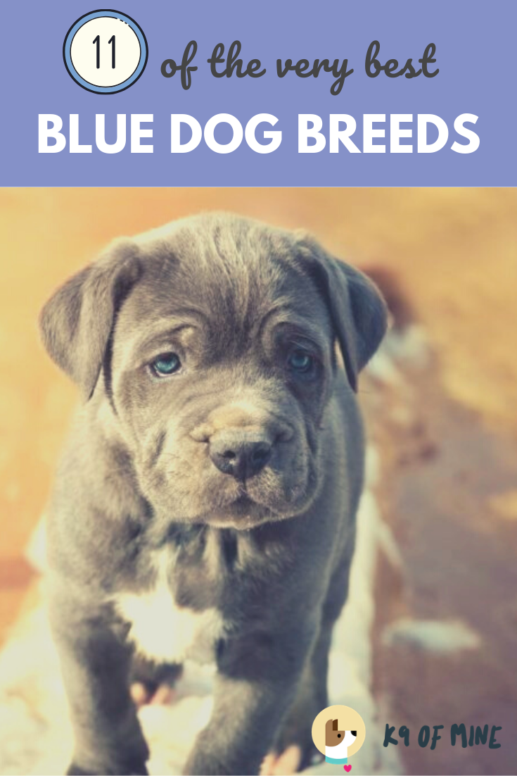 Love Blue Colored Dogs Check Out Our