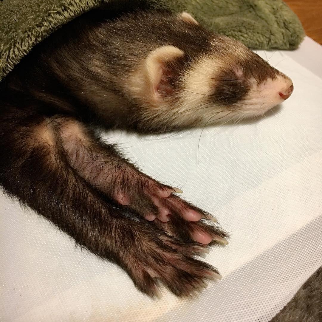 チョコがさっき血便 しました 明日朝一で病院連れて行きますが 何が起きてるのかわからず不安です 誰か血便出されたことある子いますか Ferret Animals Stoat