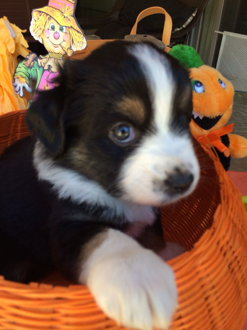 5 Weeks Black Tri Female 850 Miniature Australian Shepherd Puppies Australian Shepherd Puppies Miniature Australian Shepherd