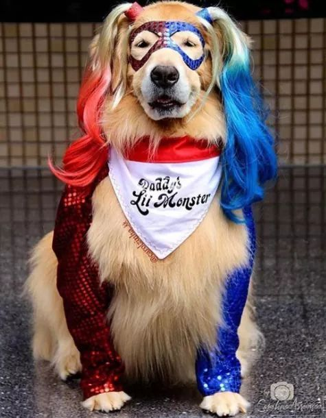 Doggy Quinn Credit To The Owners Dog Costumes Funny