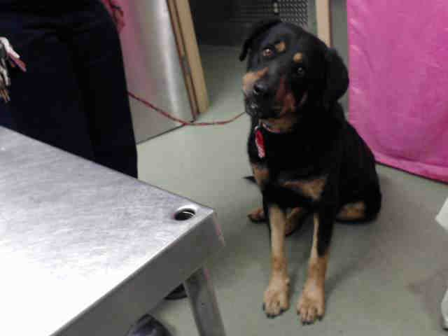 This DOG - ID#A584603  I am a male, black and tan Rottweiler mix.  The shelter staff think I am about 3 years old.  I have been at the...