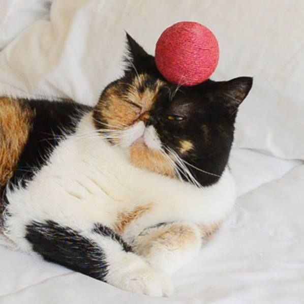 Pudge The Cat Balances Stuff On Her Head