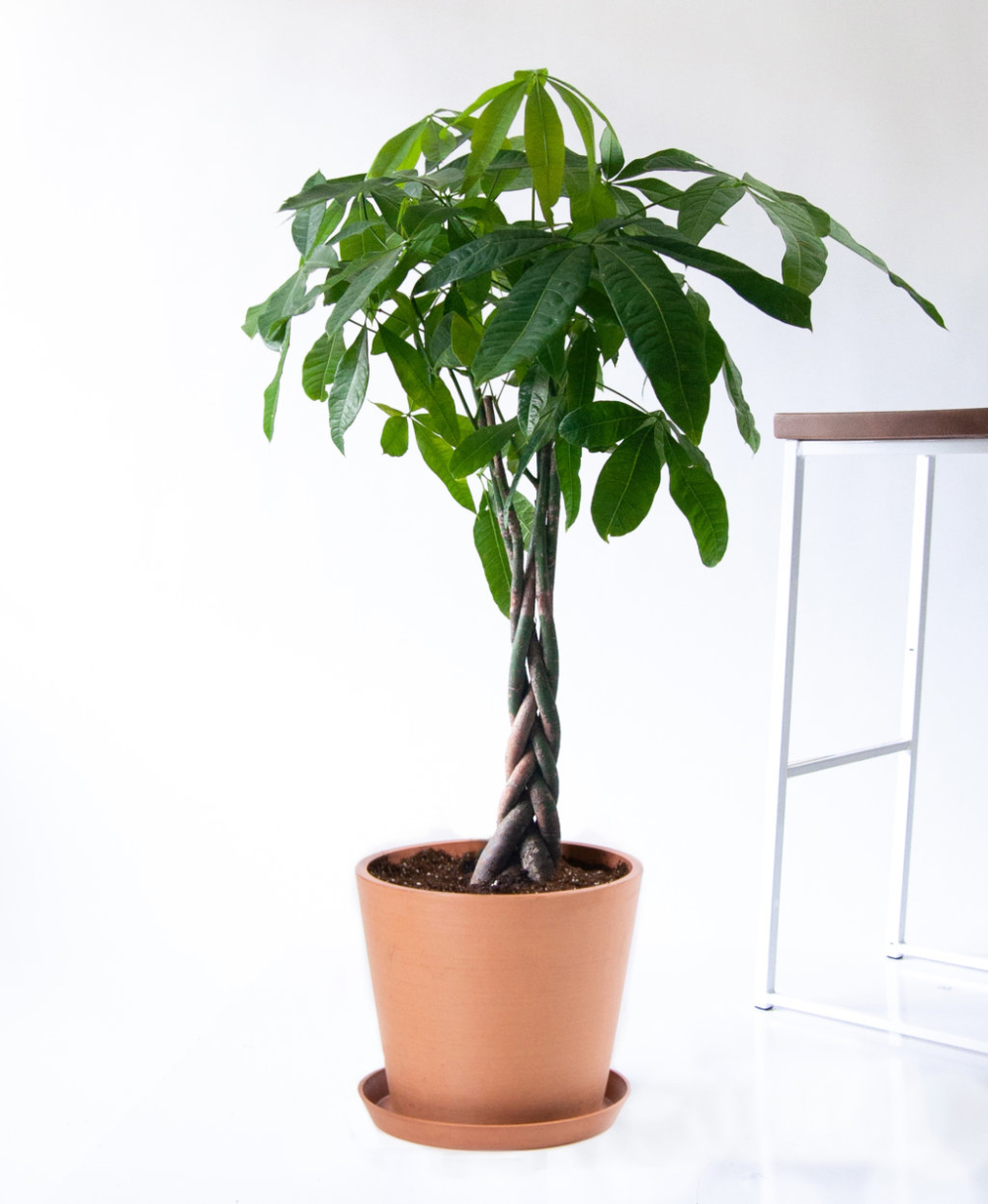 The Money Tree Plant Symbolism and Benefits Trees to