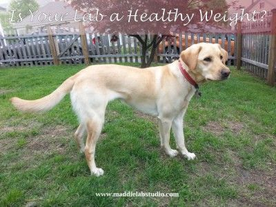 We all know that it's easy for Labs to get overweight, but did you know that being overweight could result in your dog dying almost two years earlier?