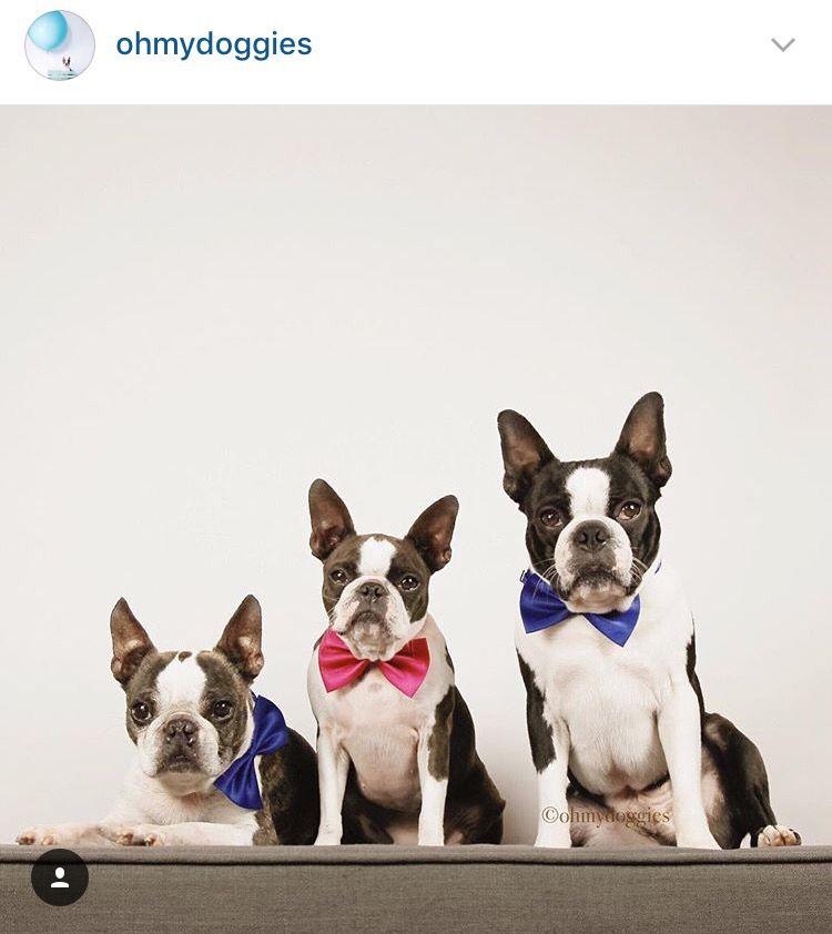 Ohmydoggies Boston Terrier Terrier Dogs