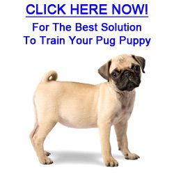 The Best Solution To Train Your Pug Puppy Pug Perros