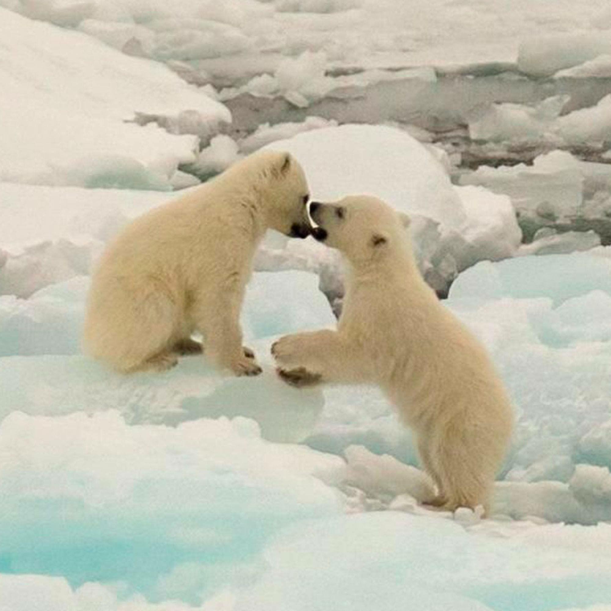 what is causing polar bears endangerment