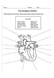 English Worksheet The Circulatory System Circulatory System