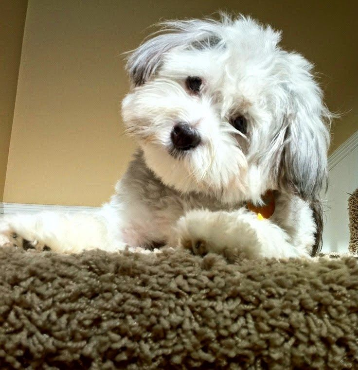 See More 10 Dogs That Are Ideal For Small Apartments Havanese