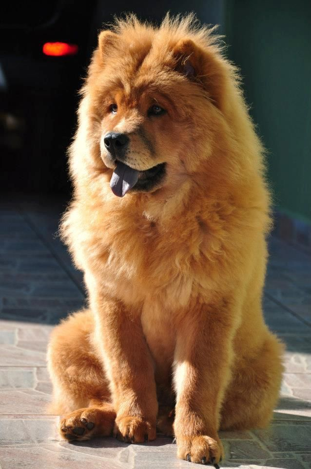 Chow Chow Chow Chow Puppy Chow Chow Dogs Cute Dogs And Puppies