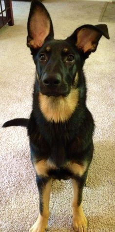 German Shepherd Rottweiler Mix Google Search Rottweiler Mix