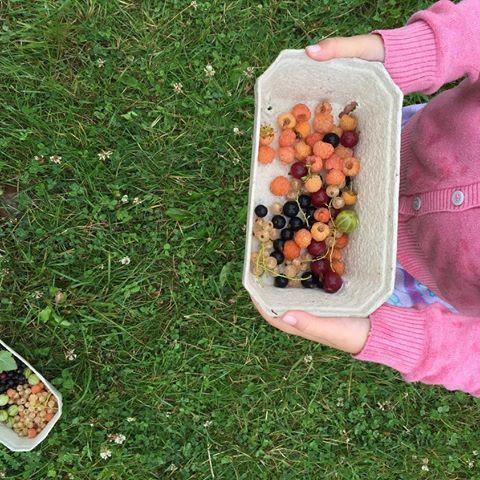 Plukke, plukke, plukke, lækre søde bær #fuglebjerggaard #sommerbær