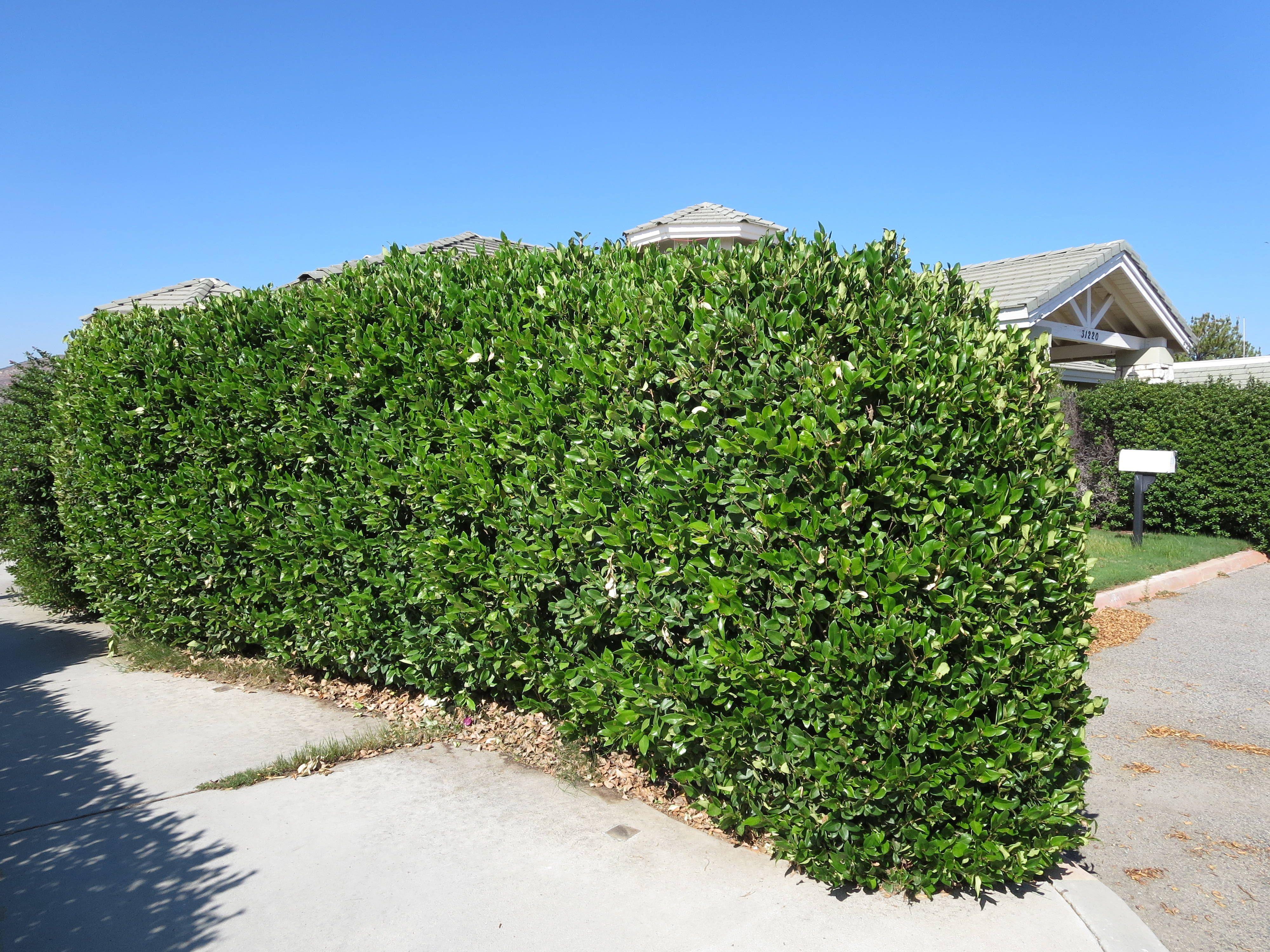 wax leaf privet hedge flowers and trees pinterest privet hedge and drought tolerant. Black Bedroom Furniture Sets. Home Design Ideas