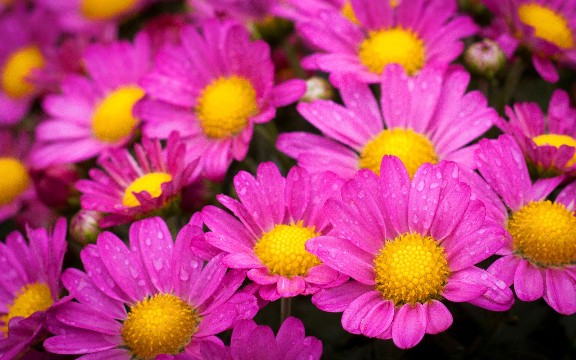 Beautiful Pink Flowers 19329 1920x1200 Px Hdwallsource