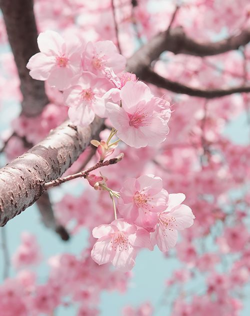Pin By Hollis Market Brands On Flowers Cherry Blossom Wallpaper Cherry Blossom Flowers Blossom Flower