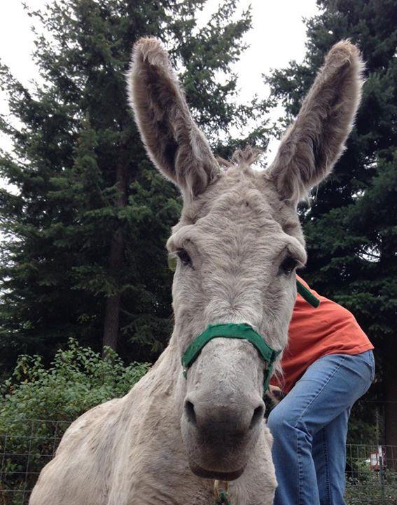 Magic Sam!!! Courtesy: Lavender Dreams Farm & Donkey Rescue