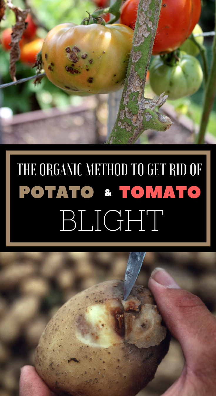 c5c66a3da5fb71e68d0c124c37ff8abf - How To Get Rid Of Late Blight On Tomatoes