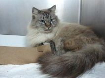 Puff Is An Adoptable Ragdoll Cat In Melbourne Fl You Can Fill Out An Adoption Application Online On Our Official Website Plea Pet Finder Ragdoll Cat Ragdoll