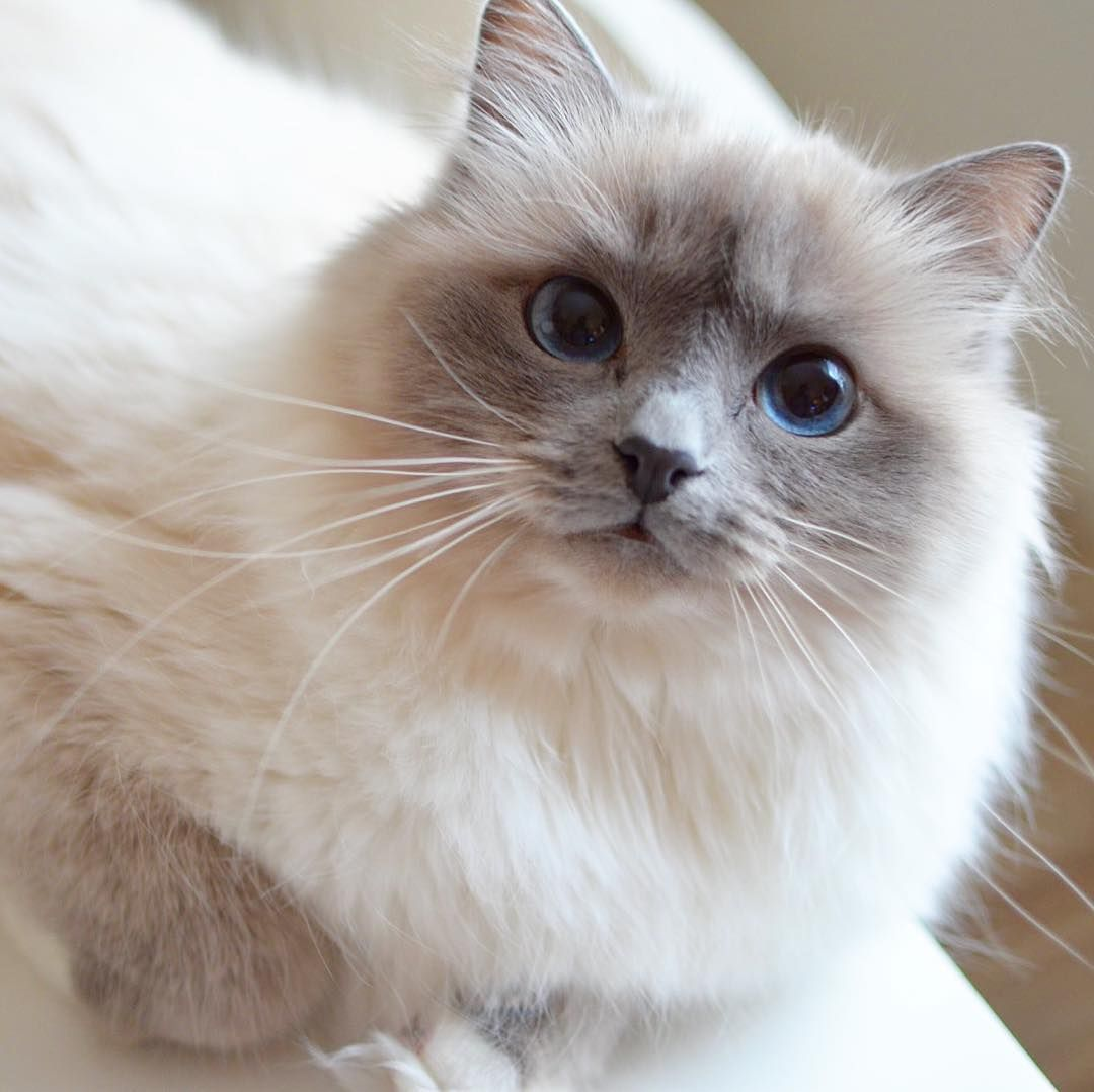 Pin By Rechechita Castro Castillo On Ragdoll Cat Gorgeous Cats Pretty Cats Cute Cats And Kittens