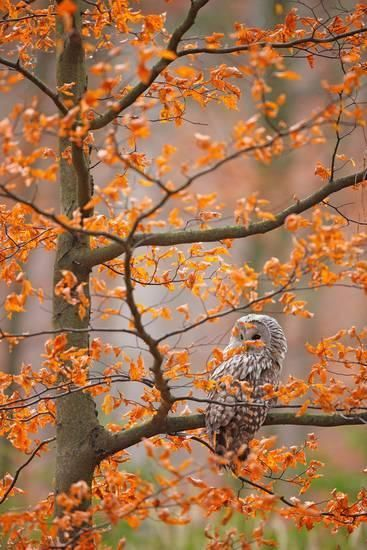 Grey Ural Owl, Strix Uralensis, Sitting on Tree Branch, at Orange Leaves Oak Autumn Forest, Bird In Photographic Print by Ondrej Prosicky at AllPosters.com #falltrees