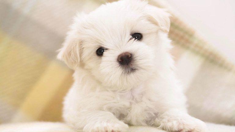 Cute Dog Desktop Wallpapers Anjing Maltese Anjing