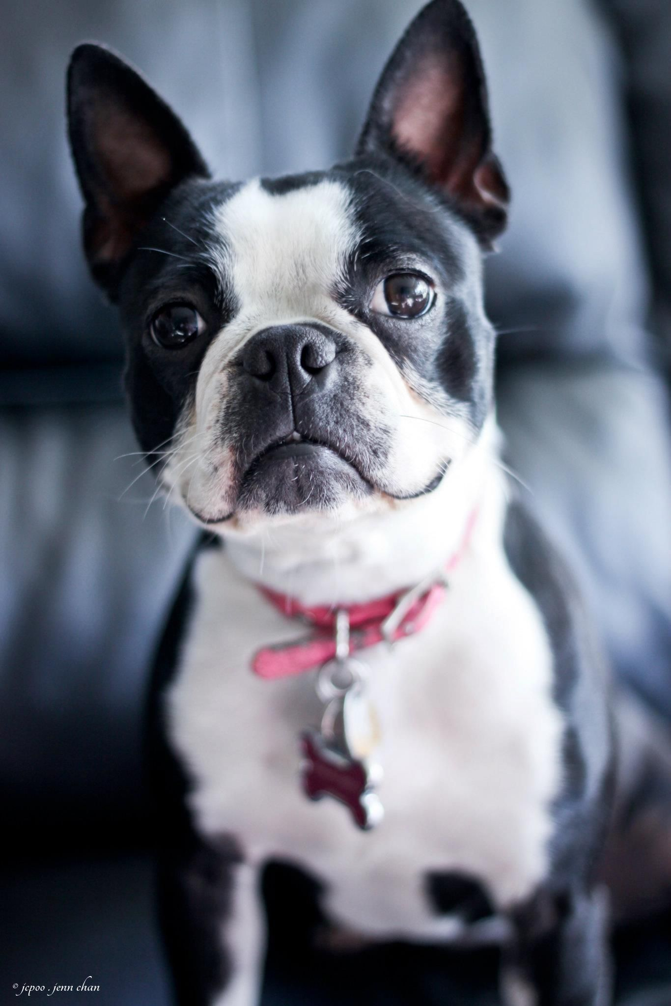 Belle 3/4 Boston Terrier 1/4 Frenchie Boston terrier