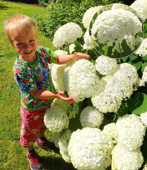 Hortensie Annabell schneeball hortensie annabelle pflanzen