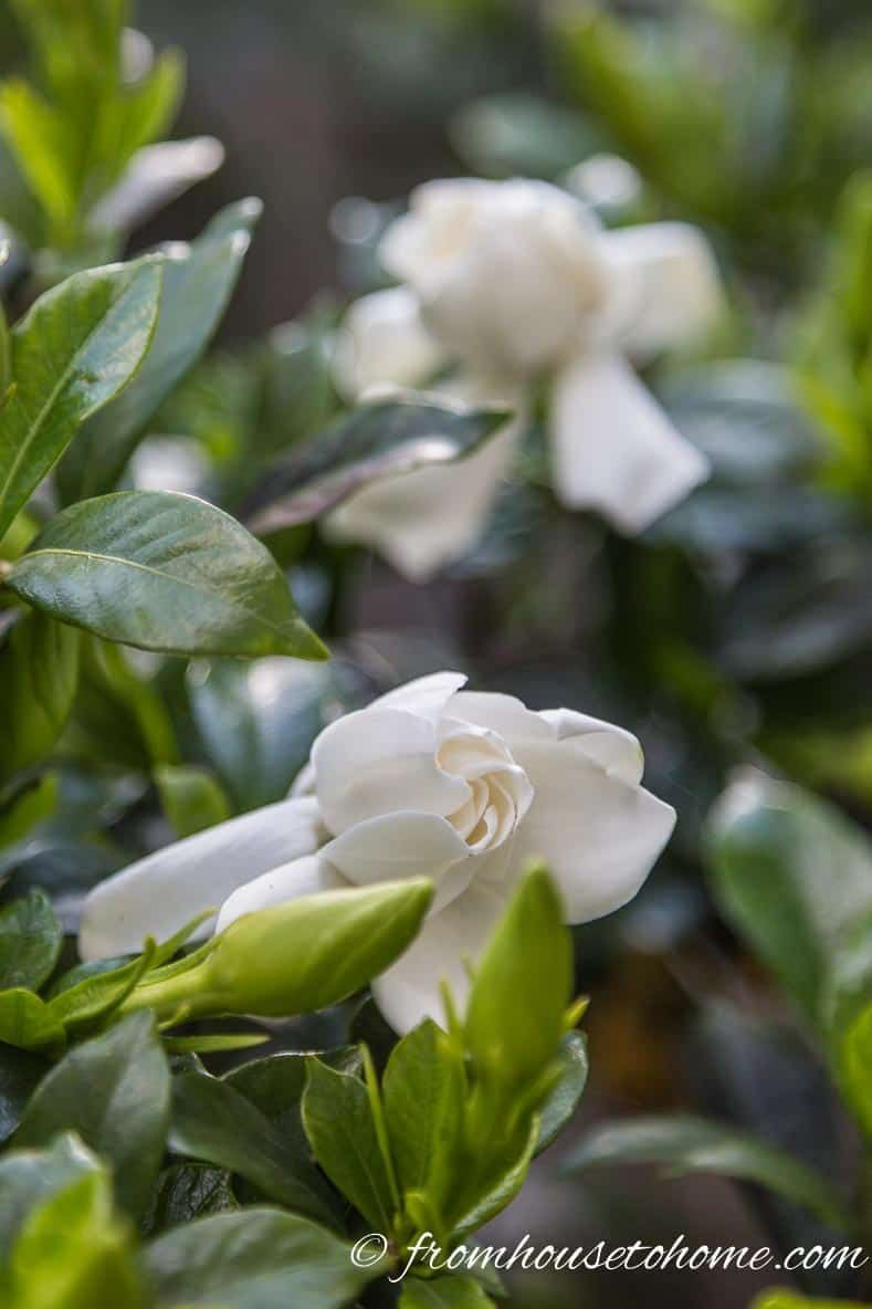10 Beautiful Perennial Plants With The Most Fragrant Flowers Yard