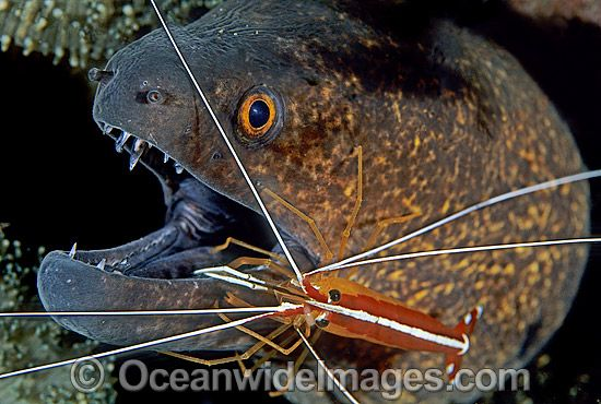 how to clean moray eel