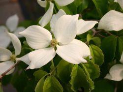 Chinesischer Blumenhartriegel - Cornus kousa chinensis