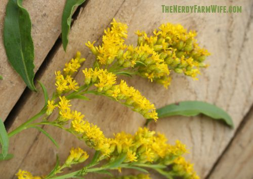 Foraging Using Goldenrod Goldenrod Flower Medicinal Herbs Herbalism