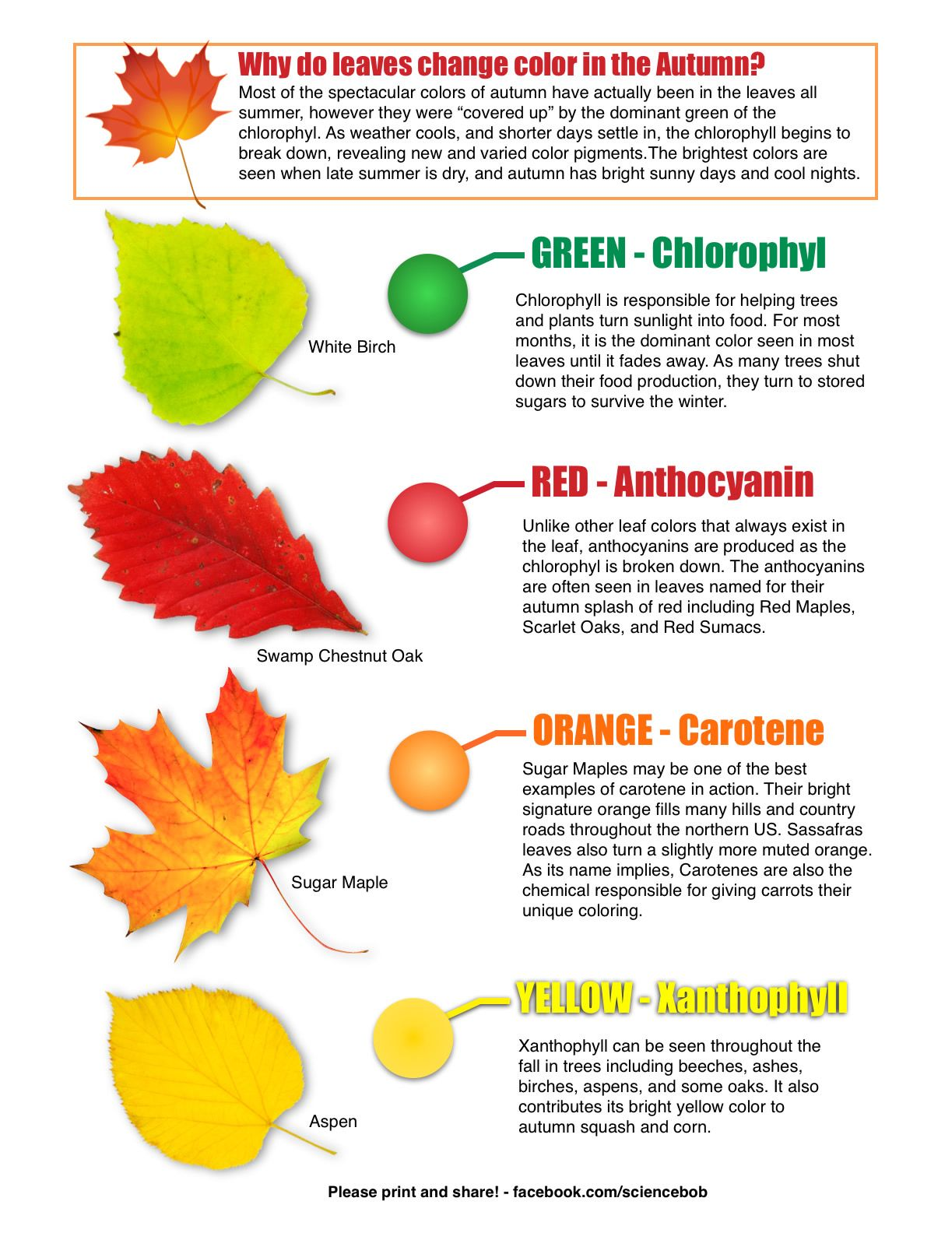 Why Do Leaves Change Color In The Autumn? From Science Bob