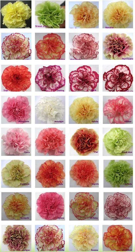July 2012 North Raleigh Florist S Blog Carnation Flower Carnation Colors Colorful Flowers